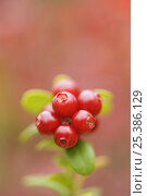 Купить «Cowberry (Vaccinium vitis-idaea) berries close-up, Oulanka, Finland, September 2008», фото № 25386129, снято 15 августа 2018 г. (c) Nature Picture Library / Фотобанк Лори
