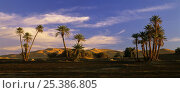 Sand dunes and Date Palms (Phoenix dactylifera) at Erg Chebbi, Sahara Desert, Tafilalt, Morocco, November. Стоковое фото, фотограф Oriol Alamany / Nature Picture Library / Фотобанк Лори