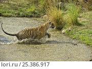 Купить «Bengal tiger (Panthera tigris tigris) female leaping through lake, Ranthambore NP, Rajasthan, India», фото № 25386917, снято 22 марта 2019 г. (c) Nature Picture Library / Фотобанк Лори