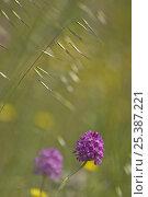 Купить «Pyramidal orchid (Anacamptis pyramidalis) flower, Vieste, Gargano National Park, Gargano Peninsula, Apulia, Italy, May 2008», фото № 25387221, снято 23 июля 2018 г. (c) Nature Picture Library / Фотобанк Лори