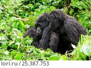 Купить «Female Mountain gorilla (Gorilla beringei beringei) nursing her baby, with juvenile Gorilla watching in the rain,  Volcanoes National Park, Rwanda, Africa, March 2009», фото № 25387753, снято 26 мая 2019 г. (c) Nature Picture Library / Фотобанк Лори