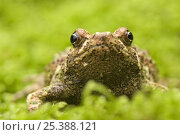 Warty green burrowing frog (Scaphiophryne marmorata) portrait, Madagascar. Стоковое фото, фотограф Edwin Giesbers / Nature Picture Library / Фотобанк Лори