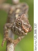 Купить «Short-horned chameleon (Calumma brevicornis) Madagascar», фото № 25388137, снято 21 июля 2018 г. (c) Nature Picture Library / Фотобанк Лори