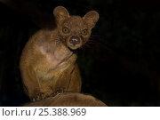 Fossa (Cryptoprocta ferox) portrait, Andasibe National Park, Madagascar... Стоковое фото, фотограф Edwin Giesbers / Nature Picture Library / Фотобанк Лори