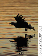 Купить «Silhouette of White tailed sea eagle {Haliaeetus albicilla} flying low over sea, Flatanger, Nord-Trondelag, Norway, August», фото № 25391033, снято 16 декабря 2018 г. (c) Nature Picture Library / Фотобанк Лори