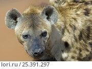 Spotted hyena (Crocuta crocuta) portrait, Tanzania. Стоковое фото, фотограф Edwin Giesbers / Nature Picture Library / Фотобанк Лори