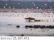 Spotted hyaena {Crocuta crocuta} chasing and catching Lesser flamingo {Phoeniconaias minor} Lake Nakuru NP, Kenya. Стоковое фото, фотограф Anup Shah / Nature Picture Library / Фотобанк Лори