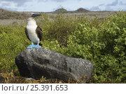 Купить «Blue-footed booby (Sula nebouxii excisa) standing on a rock, Punta Cevallos, Española / Hood Island, Galapagos Islands, Ecuador, South America», фото № 25391653, снято 20 марта 2019 г. (c) Nature Picture Library / Фотобанк Лори