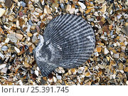 Купить «Variegated scallop (Chlamys varia / Mimachlamys varia) shell on beach, Normandy, France», фото № 25391745, снято 16 августа 2018 г. (c) Nature Picture Library / Фотобанк Лори