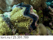 Купить «Clam {Tridacna sp} encrusted with corals, Indo-pacific», фото № 25391789, снято 19 августа 2018 г. (c) Nature Picture Library / Фотобанк Лори