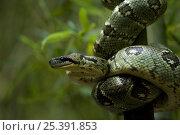Malagasy boa {Sanzinia madagascariensis} Madagascar. Стоковое фото, фотограф Inaki Relanzon / Nature Picture Library / Фотобанк Лори