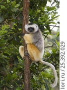 Купить «Diademed sifaka (Propithecus diadema diadema) clinging to a tree, Madagascar, captive», фото № 25392029, снято 6 июля 2020 г. (c) Nature Picture Library / Фотобанк Лори