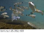 Купить «Bullseye or concentric Pufferfish (Sphoeroides annulatus) shoal off Gardner Island, off Floreana Island, Galapagos Islands, Ecuador, South America», фото № 25392169, снято 16 декабря 2017 г. (c) Nature Picture Library / Фотобанк Лори