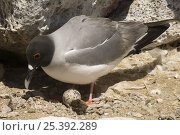 Купить «Swallow-tailed Gull (Creagrus / Larus furcatus) on nest, Punto Cevallos, Española (Hood) Island,  South America», фото № 25392289, снято 19 октября 2019 г. (c) Nature Picture Library / Фотобанк Лори