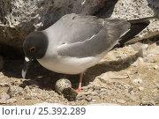 Купить «Swallow-tailed Gull (Creagrus / Larus furcatus) on nest, Punto Cevallos, Española (Hood) Island,  South America», фото № 25392289, снято 23 марта 2019 г. (c) Nature Picture Library / Фотобанк Лори