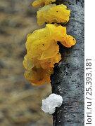 Купить «Yellow brain fungus (Tremella mesenterica) in yellow and colourless form, Belgium», фото № 25393181, снято 25 июня 2018 г. (c) Nature Picture Library / Фотобанк Лори
