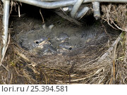 Купить «Grey Wagtail (Motacilla cinerea) nest with young, Upper Teesdale, Co Durham, England. UK», фото № 25394581, снято 18 августа 2018 г. (c) Nature Picture Library / Фотобанк Лори