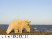 Купить «Polar bear (Ursus maritimus) female walks along a sandspit looking for scraps of Bowhead whale meat during spring whaling season, Barter Island, Arctic National Wildlife Refuge, Alaska», фото № 25395181, снято 21 марта 2018 г. (c) Nature Picture Library / Фотобанк Лори