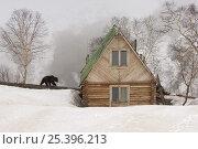 Купить «Kamchatka brown bear (Ursus arctos beringianus) near photographer's wooden cabin, Valley of the Geysers, Kronotsky Zapovednik, Kamchatka, Far East Russia», фото № 25396213, снято 3 апреля 2020 г. (c) Nature Picture Library / Фотобанк Лори
