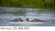 Купить «Osprey {Pandion haliaetus} coming up out of water after catching fish, Finland», фото № 25396581, снято 19 июля 2018 г. (c) Nature Picture Library / Фотобанк Лори