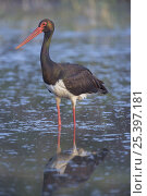 Купить «Black Stork (Ciconia nigra) adult standing in water, Bulgaria», фото № 25397181, снято 21 августа 2018 г. (c) Nature Picture Library / Фотобанк Лори