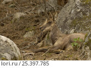 Pyrenean Chamois / Isard {Rupicapra pyrenaica} female with young resting, Pyrenees, France. Стоковое фото, фотограф Dave Watts / Nature Picture Library / Фотобанк Лори