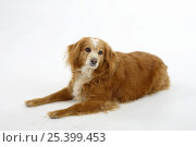 Купить «Mixed Breed Dog, 15 years old, lying down», фото № 25399453, снято 26 марта 2019 г. (c) Nature Picture Library / Фотобанк Лори