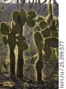 Купить «Giant prickly pear cacti (Opuntia sp.). Cerro Dragon, Santa Cruz Island, Galapagos Islands.», фото № 25399577, снято 28 января 2020 г. (c) Nature Picture Library / Фотобанк Лори