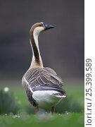 Купить «Swan Goose (Anser cygnoides) adult, Mannheim, Germany», фото № 25399589, снято 4 июля 2020 г. (c) Nature Picture Library / Фотобанк Лори