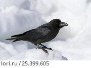 Купить «Large-billed / Jungle Crow (Corvus macrorhynchos) adult on snow, Shiretoko, Hokkaido, Japan», фото № 25399605, снято 24 октября 2019 г. (c) Nature Picture Library / Фотобанк Лори