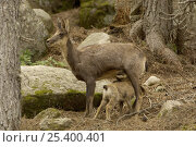 Pyrenean Chamois / Isard {Rupicapra pyrenaica} female suckling young, Pyrenees, France. Стоковое фото, фотограф Dave Watts / Nature Picture Library / Фотобанк Лори