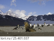 Купить «Antarctic fur seal {Arctocephalus gazella} bull with King Penguins {Aptenodytes patagonicus} Saint Andrews Bay, South Georgia», фото № 25401037, снято 24 сентября 2018 г. (c) Nature Picture Library / Фотобанк Лори