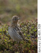 Red throated pipit {Anthus cervinus} female, Varanger, Norway. Стоковое фото, фотограф Roger Powell / Nature Picture Library / Фотобанк Лори
