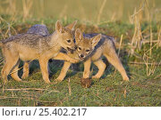 Купить «Black-backed Jackal {Canis mesomelas} two six-week pups playing, Masai Mara Triangle, Kenya», фото № 25402217, снято 7 июля 2020 г. (c) Nature Picture Library / Фотобанк Лори