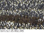 Купить «King Penguin (Aptenodytes patagonicus) large colony with chicks and adults, Saint Andrews Bay, South Georgia», фото № 25402345, снято 24 сентября 2018 г. (c) Nature Picture Library / Фотобанк Лори