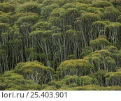 Купить «Snow Gum trees (Eucalyptus pauciflora) mountain forest in Snowy Mountains, Kosciuszko National Park, New South Wales, Australia», фото № 25403901, снято 21 февраля 2019 г. (c) Nature Picture Library / Фотобанк Лори
