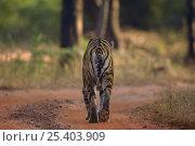 Купить «Bengal tiger (Panthera tigris tigris) rear view adult female walking along forest track. Bandhavgarh National Park, Madhya Pradesh, India.», фото № 25403909, снято 21 января 2019 г. (c) Nature Picture Library / Фотобанк Лори