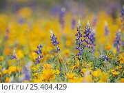 Купить «RF- Desert / Coulter's Lupine (Lupinus sparsiflorus) flowering among Mexican Gold Poppy (Eschscholzia californica mexicana). Organ Pipe Cactus National Monument, Arizona, USA. March.», фото № 25404429, снято 21 июня 2018 г. (c) Nature Picture Library / Фотобанк Лори