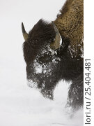 Купить «Bison (Bison bison) in deep snow, wintering in the Upper Geyser Basin, Yellowstone National Park, Wyoming, USA», фото № 25404481, снято 17 марта 2018 г. (c) Nature Picture Library / Фотобанк Лори