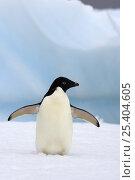 Купить «Adelie penguin (Pygoscelis Adeliae) on glacial ice along the western Antarctic Peninsula, Southern Ocean», фото № 25404605, снято 2 июня 2020 г. (c) Nature Picture Library / Фотобанк Лори