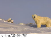 Купить «Polar bear (Ursus maritimus) sow with her cubs, newly emerged from their den on the Arctic coast, eastern Arctic National Wildlife Refuge, Alaska», фото № 25404781, снято 6 июня 2020 г. (c) Nature Picture Library / Фотобанк Лори