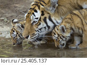 Купить «Siberian tiger {Panthera tigris altaica} mother and two young cubs drinking, captive», фото № 25405137, снято 15 декабря 2017 г. (c) Nature Picture Library / Фотобанк Лори