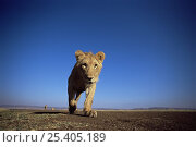 Купить «African lion {Panthera leo} llow angle lioness walking, East Africa», фото № 25405189, снято 19 июля 2018 г. (c) Nature Picture Library / Фотобанк Лори
