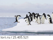 Купить «Adelie Penguin (Pygoscelis adeliae) jumping out of sea onto iceberg with other penguins, Paulet Island, Antarctica», фото № 25405521, снято 7 апреля 2020 г. (c) Nature Picture Library / Фотобанк Лори