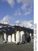 Купить «King Penguin (Aptenodytes patagonicus) flock on shore, Saint Andrews Bay, South Georgia», фото № 25406005, снято 24 сентября 2018 г. (c) Nature Picture Library / Фотобанк Лори