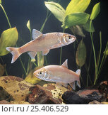 Two Ide / Golden orfe {Leuciscus idus} captive, from Europe. Стоковое фото, фотограф Jane Burton / Nature Picture Library / Фотобанк Лори