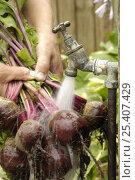 Купить «Washing freshly gathered home grown organic Beetroot, 'Detroit' variety {Beta sp} under the garden tap, Norfolk, UK, July», фото № 25407429, снято 11 декабря 2017 г. (c) Nature Picture Library / Фотобанк Лори
