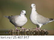 Купить «Collared dove (Streptopelia decaocto) pair perched near water, Alicante, Spain», фото № 25407917, снято 22 февраля 2019 г. (c) Nature Picture Library / Фотобанк Лори