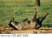 Blue wildebeest (Connochaetes taurinus) rolling on the ground, Kgalagadi Transfrontier NP, South Africa. Стоковое фото, фотограф Pete Oxford / Nature Picture Library / Фотобанк Лори