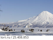 Steller's sea eagles {Haliaeetus pelagicus} gather beside Kuril Lake with Ilinsky volcano in the background, Kamchatka, Far East Russia. Стоковое фото, фотограф Igor Shpilenok / Nature Picture Library / Фотобанк Лори